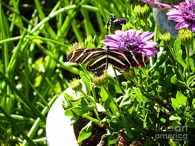 Photograph - Zebra Longwing by Methune Hively