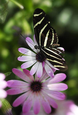Purple Zebra Photograph - Zebra Longwing On A Daisy  by Saija  Lehtonen