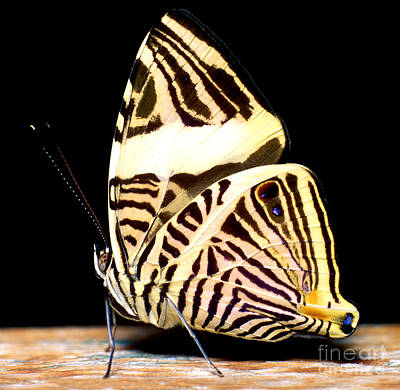 Photograph - Zebra Mosaic Butterfly by Terry Elniski