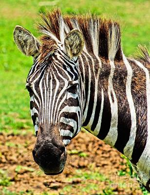 Photograph - Zebra by Nick Zelinsky