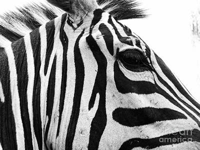 Photograph - Zebra by Traci Cottingham