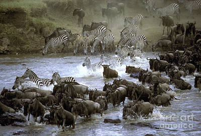 Photograph - Zebras And Wildebeest Crossing River by Greg Dimijian