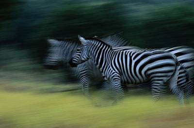 Zebras At Fossil Rim Wildlife Center Art Print