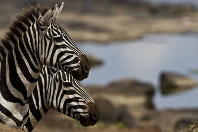 Zebras At Mara River Crossing Art Print