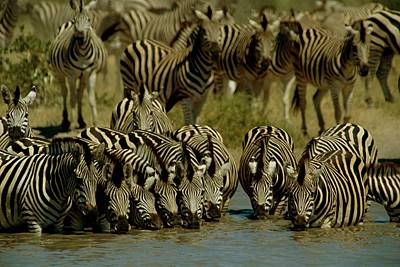 Zebras Drinking At Water Hole Art Print by Beverly Joubert
