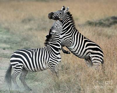 Zebras Fighting Art Print by Alan Clifford