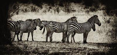 Zebras In A Row Print by Jess Easter