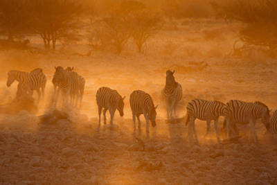 Photograph - Zebras In The Dust by Michele Burgess