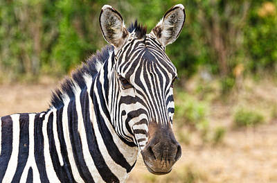 Photograph - Zebras In The Masai Mara by Perla Copernik