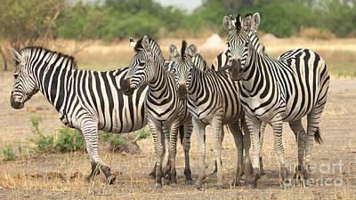 Photograph - Zebras by Mareko Marciniak