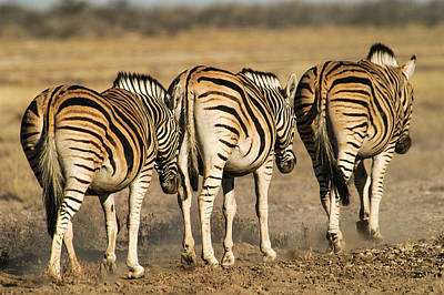 Photograph - Zebras Three by Alistair Lyne