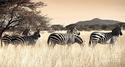 Photograph - Zebras by Tina Broccoli