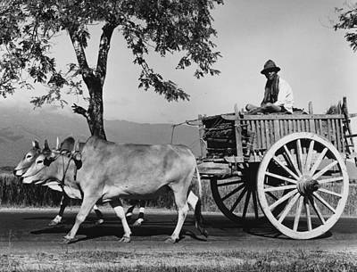 Zebu Cart Art Print by Richard Harrington