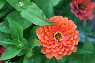 Zinnia Flower Stages Of Life Art Print by Bonnie Boden