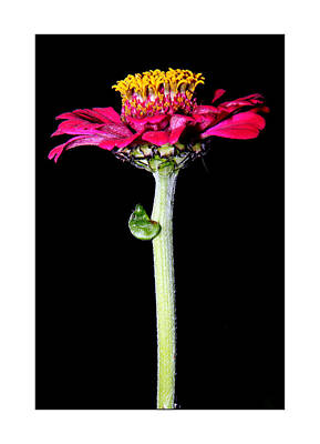 Photograph - Zinnia by Jez C Self