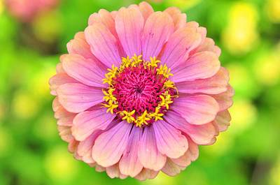 Photograph - Zinnia Oklahoma Pink by Puzzles Shum