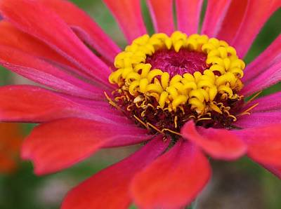 Photograph - Zinnia Surprise by Bruce Bley