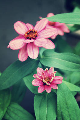 Zinnias Art Print by Cathie Tyler
