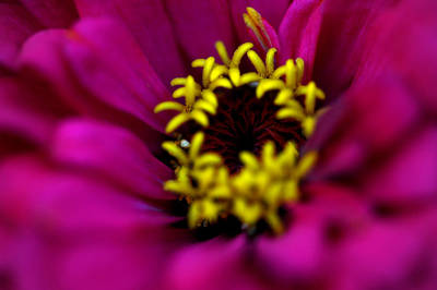 Photograph - Zinnias by Frank DiGiovanni