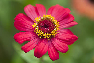 Zinnias Seem Especially Favored By Butterflies Original