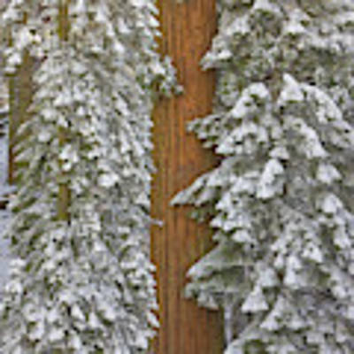 Giant Sequoias And Snow  Art Print by Yva Momatiuk John Eastcott
