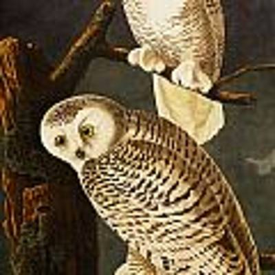 Snowy Owl Art Print by Celestial Images