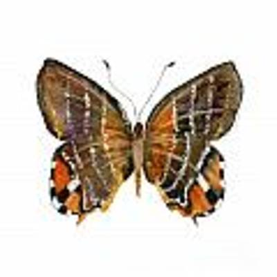 60 Euselasia Butterfly Original by Amy Kirkpatrick