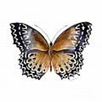 77 Cethosia Butterfly Art Print