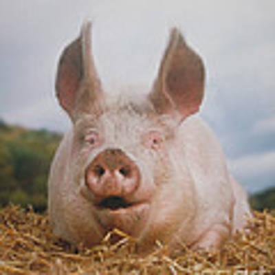 Domestic Pig Art Print by Hans Reinhard