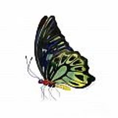 97 Perched Kuranda Butterfly Art Print by Amy Kirkpatrick
