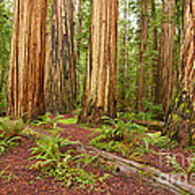 Ancient Forest - The Massive Giant Redwoods Sequoia Sempervirens In Redwood National Park. Art Print