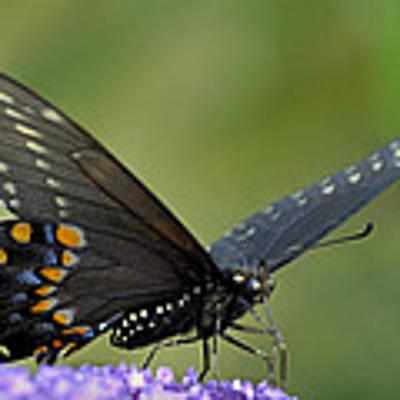 Black Swallowtail On A Buddleia Art Print by Bradford Martin