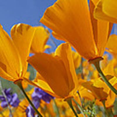 California Poppy Eschscholzia Art Print by Tim Fitzharris