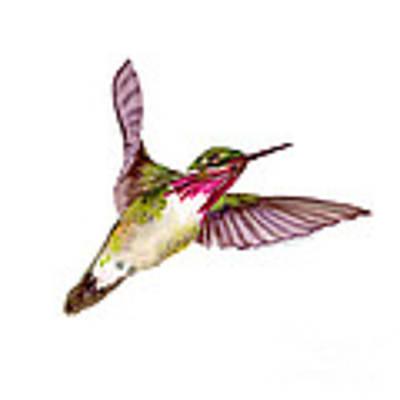 Calliope Hummingbird Art Print by Amy Kirkpatrick