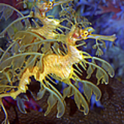 Colorful Leafy Sea Dragons Art Print by Donna Proctor