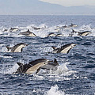 Common Dolphins Surfacing San Diego Art Print by Richard Herrmann
