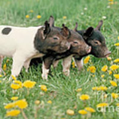 Domestic Piglets Art Print by Alan Carey
