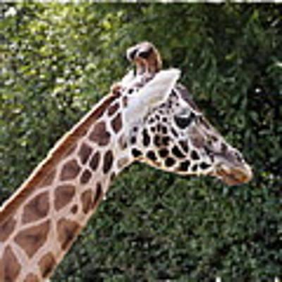 Giraffe 01 Art Print by Paul Gulliver