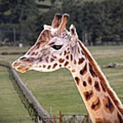 Giraffe 02 Art Print by Paul Gulliver