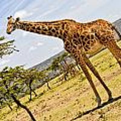 Giraffe Walking To Their Tree Art Print by Perla Copernik