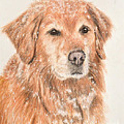 Golden Retriever In Snow Art Print by Kate Sumners