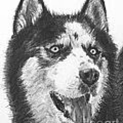 Husky Drawing Art Print by Kate Sumners