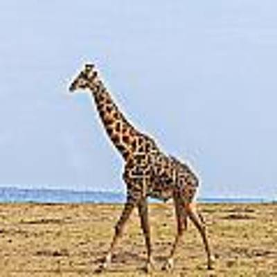 Male Giraffe Making An Entrance Art Print by Perla Copernik