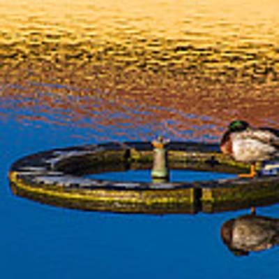 Male Mallard Duck Art Print by Carolyn Marshall