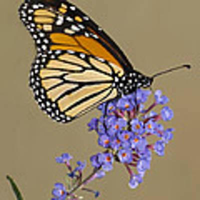 Monarch Art Print by Vickie Szumigala