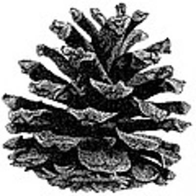 Pine Cone Art Print by Rob Christensen