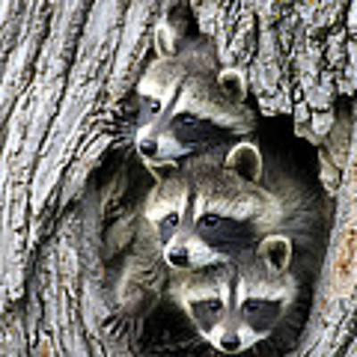 Raccoon Trio At Den Minnesota Art Print by Jurgen and Christine Sohns