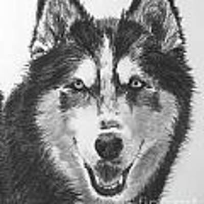 Siberian Husky Drawing Art Print by Kate Sumners