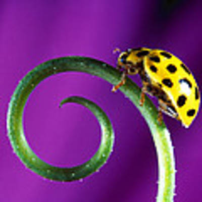 Side View Close Up Of Yellow Ladybug Art Print by Panoramic Images