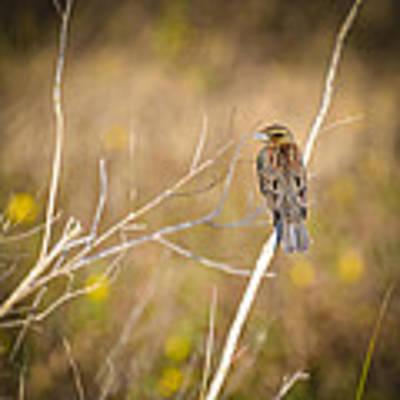 Sparrow In Marshland Art Print by Carolyn Marshall